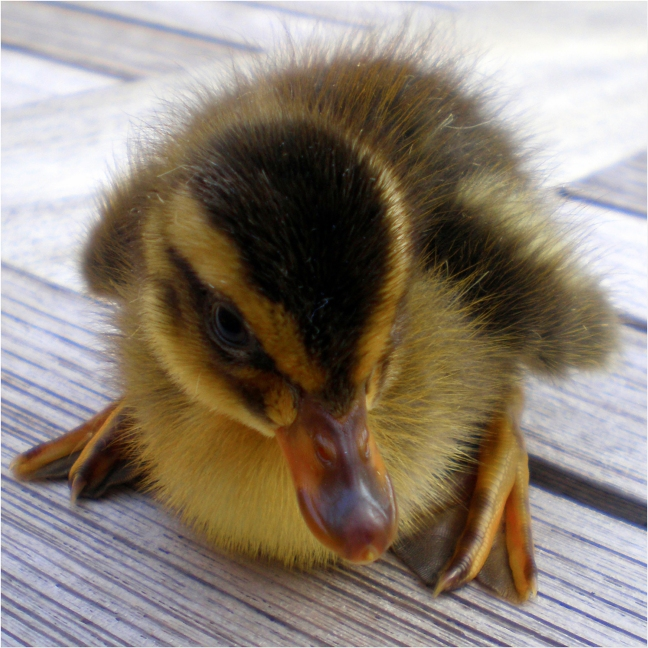 Combat Duck